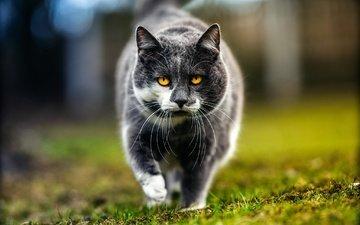глаза, морда, трава, природа, фон, портрет, кот, усы, кошка, взгляд, серый, весна, гуляет, желтоглазый