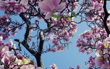 небо, дерево, цветение, весна, магнолия
