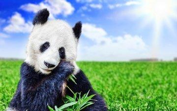 небо, трава, облака, солнце, зелень, поле, панда, медведь, животное, боке