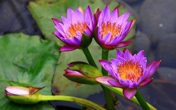 цветы, кувшинка, нимфея, водяная лилия, лиловые