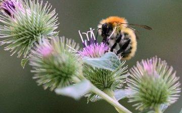насекомое, пчела, боке, чертополох