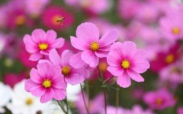 цветы, насекомое, полет, розовый, пчела, космея