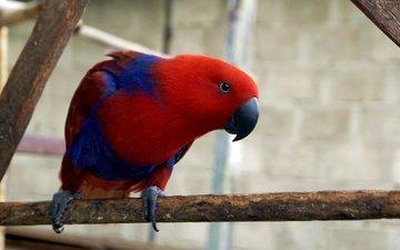 красный, птица, клюв, перья, краcный, попугай, остров гаг, электус, electus parrot, eclectus roratus, gag island