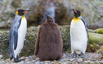 природа, берег, птицы, пингвин, пингвины