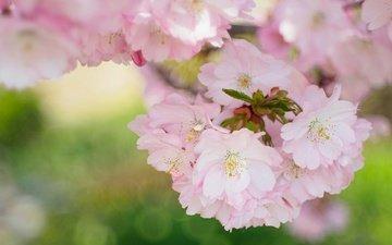 природа, цветение, лепестки, сад, весна, сакура