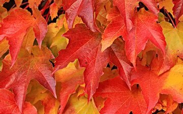 природа, листья, листва, осень, лист, клен