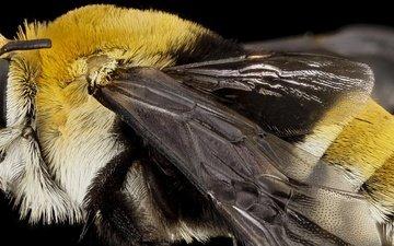 природа, макро, насекомое, крылья, пчела