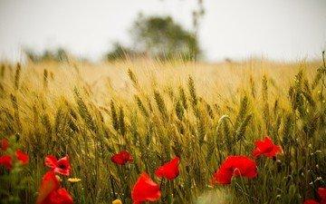 цветы, природа, пейзаж, поле, красные, маки, колосья, пшеница