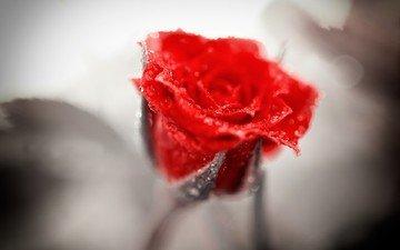 природа, цветок, капли, роза, красная
