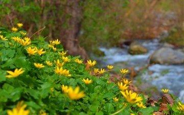 цветы, природа, ручей, весна, лютик, желтые цветы