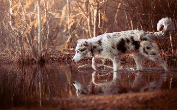 вода, природа, лес, отражение, собака, прогулка, друг, бордер-колли