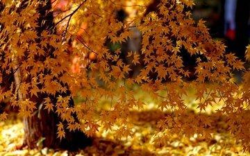 свет, деревья, природа, листья, парк, осень, клен, желтые