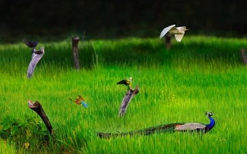 трава, природа, птицы, павлин, попугай, цапля, щурка, шри-ланка