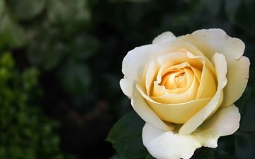цветок, роза, лепестки, белая