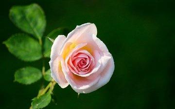 цветок, роза, розовая, зеленый фон
