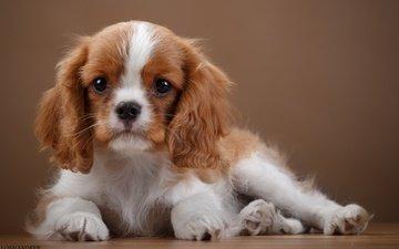 собака, щенок, уши, порода, спаниель, кавалер-кинг-чарльз-спаниель