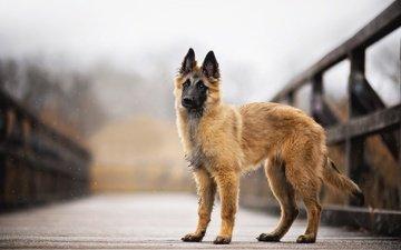snow, bridge, dog, faye, malinois, belgian shepherd
