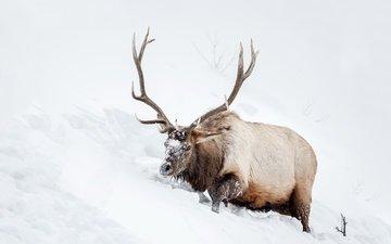 снег, природа, олень, животное, рога