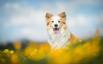 flowers, dog, language, bokeh, the border collie