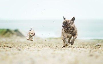 running, dogs, french bulldog, chihuahua, catch-up