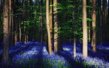 свет, цветы, деревья, лес, весна, колокольчики, тени, света, бельгия, колокольчик