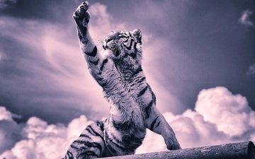 тигр, облака, тигренок, когти, лапа