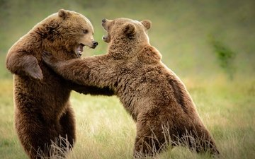 трава, борьба, медведь, медведи
