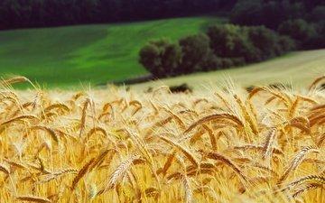 трава, лес, поле, луг, колосья, пшеница, желтые