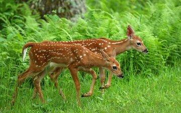 трава, олень, животные, олени, папоротник, оленята