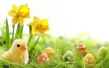 grass, easter, eggs, holiday, daffodils, chickens
