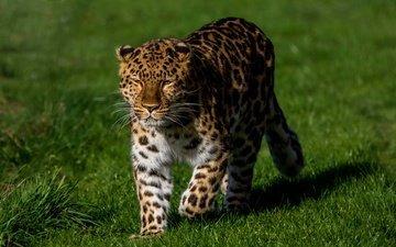 трава, солнце, зелень, леопард, хищник