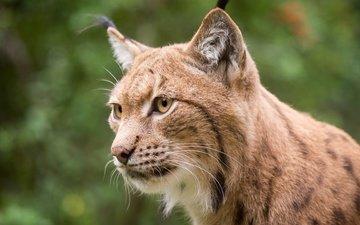 глаза, морда, рысь, усы, взгляд, хищник, дикая кошка