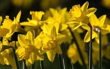 цветы, весна, нарциссы, желтые