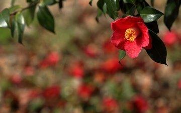 ветка, природа, фон, цветок, красная, камелия