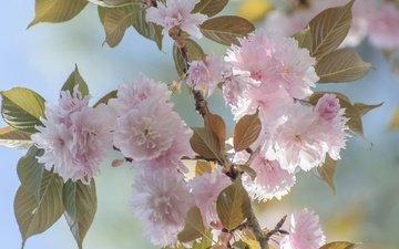 ветка, цветение, листья, лепестки, сад, весна, сакура