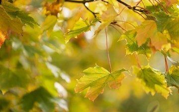 ветка, природа, листья, макро, осень, клен
