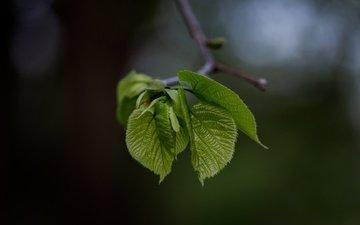 ветка, природа, листья, фон, размытость, зеленые