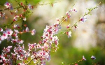 ветка, природа, цветение, весна