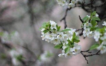 ветка, цветение, весна, слива