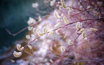 ветка, природа, весна, верба