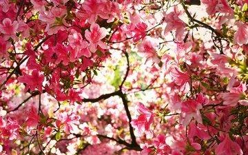 цветение, ветки, весна, азалия, рододендрон