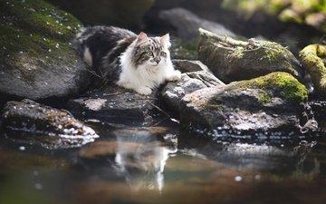 вода, камни, отражение, кот, кошка, пушистая