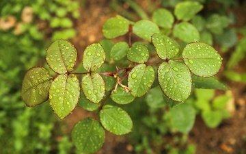 вода, природа, листья, роса, капли, дождь, зеленые листья