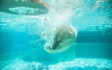 вода, медведь, животное, белый медведь