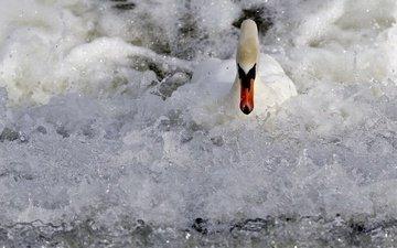 вода, природа, птица, лебедь