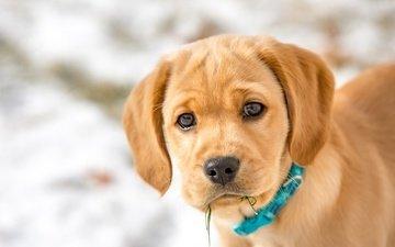 взгляд, собака, щенок, мордашка, ошейник