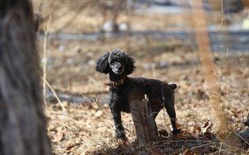 взгляд, собака, весна, пудель