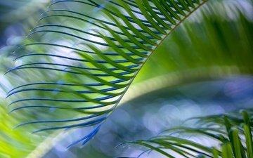 природа, зелёный, лист, пальма
