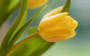 желтый, цветок, бутон, весна, тюльпан