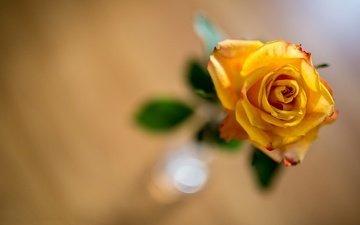 желтый, фон, цветок, роза, боке